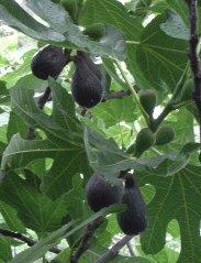 figs-183x239